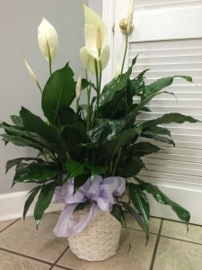 PEACE LILY PLANT Green Plant