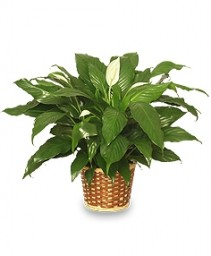 """PEACE LILY PLANT"" FSN-25 Green Plant  From Friends"