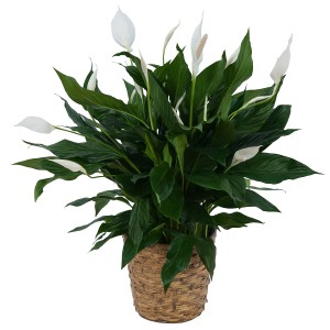 Peace Lily Plant in Basket Plant