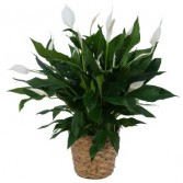 Peace Lily Plant in Basket Available in 6