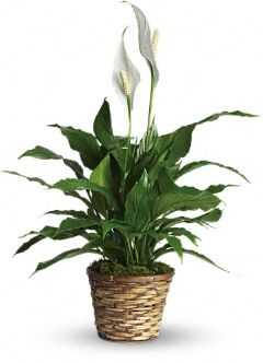 Peace Lily Plant in Basket  Sympathy/Everyday