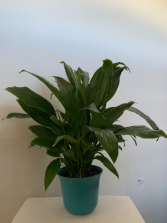 Peace lily plant in blue pot Plant