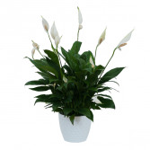 Peace Lily Plant in Ceramic Container