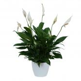 Peace Lily Plant in Ceramic Container Plant