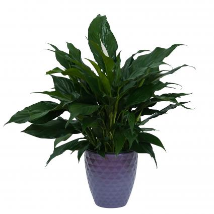 Peace Lily Plant in Beautiful Container Plant