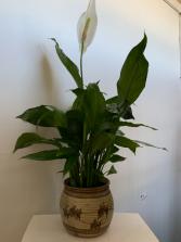 PEACE LILY PLANT In ceramic pot