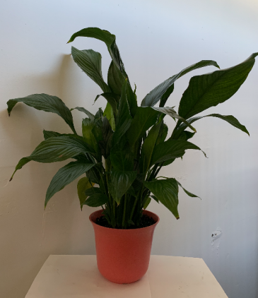 PEACE LILY PLANT in pink pot Plant