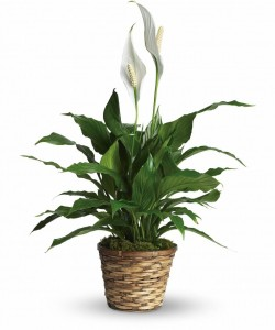 PEACE LILY PLANT INDOOR PLANTS