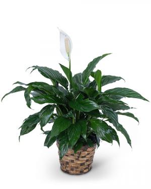 Peace Lily Plant Plant in Du Bois, PA | BRADY STREET FLORIST