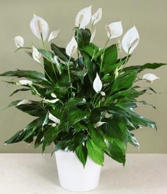 Peace Lily Plant Planter