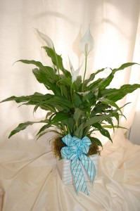 Peace Lily Plant Plants in Forney, TX | Kim's Creations Flowers, Gifts and More