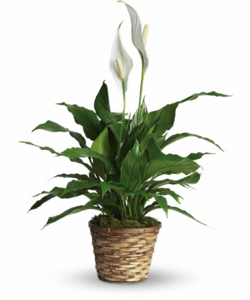 Peace Lily plant small
