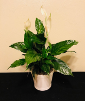 Peace Lily Plant Spathiphyllum