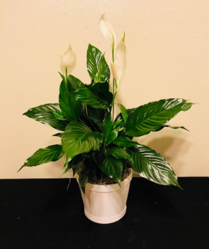 Peace Lily Plant Spathiphyllum in Boise, ID | HEAVENESSENCE FLORAL & GIFTS