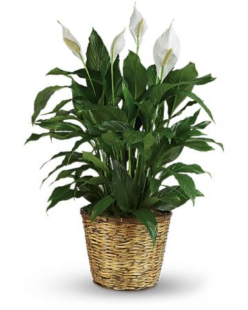 PEACE LILY PLANT Spathiphyllum clevelandii