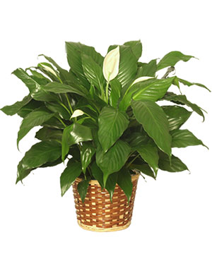 PEACE LILY PLANT    Spathiphyllum clevelandii  in Wilton, NH | WORKS OF HEART FLOWERS