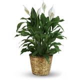 Peace Lily Plant Sympathy