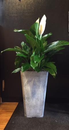 Peace Lily Planter   in Fowlerville, MI   ALETA'S FLOWER SHOP