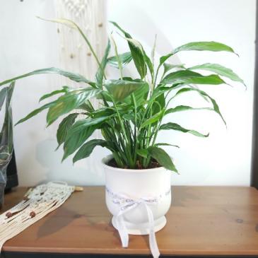 Peace Lily Comfort Planter plant