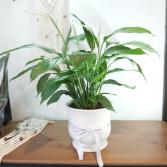 PEACE LILY PLANTER plant