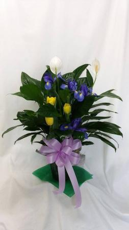 Peace Lily Plus  Plant with Fresh Stems in Norway, ME | Green Gardens Florist & Gift Shop