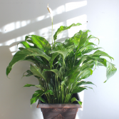 [OUT OF STOCK] Peace Lily SPATHIPHYLLUM
