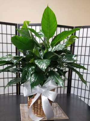 Peace Lily Spathiphyllum Clevelandii in Indianapolis, IN | SHADELAND FLOWER SHOP