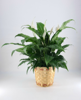 Peace Lily -   Spathiphyllum clevelandii