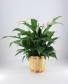 Peace Lily -   Spathiphyllum clevelandii