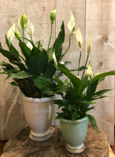 Peace Lily - Spathiphyllum Flowering Plant
