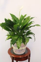 PEACE LILY/ SPATHIPHYLLUM PLANT