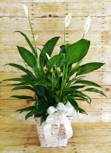 Peace Lily  Spathiphyllum Plant-Small in Winter Springs, FL | WINTER SPRINGS FLORIST AND GIFTS
