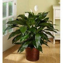Peace Lily   Spathiphyllum Plant- Medium