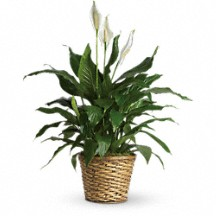 Peace lily sympathy peace lily