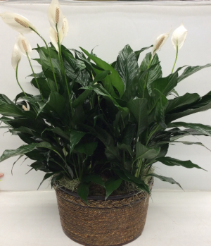 Peace Lily Trio  in Troy, MI | ACCENT FLORIST
