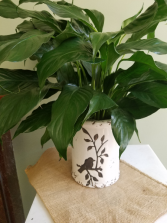Peace Lily with Crock Plant