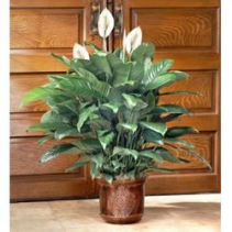 Peace Lily(SPATHIPHYLLUM) FLOOR PLANT Green Plant