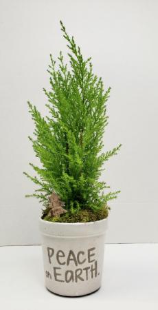 Peace On Earth Mini Cypress Tree