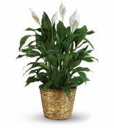 Peace Plant EN-14P