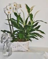 Peace Planter Plant