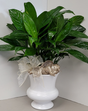 Peaceful Angel Peace Lily  Plant