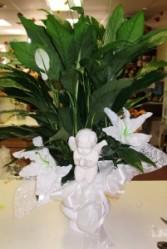Peaceful Devotion plant