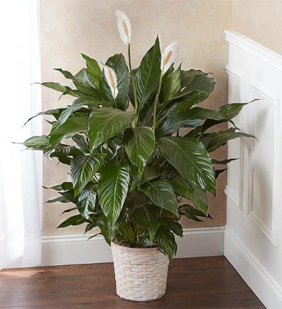 Peaceful Spath Plant