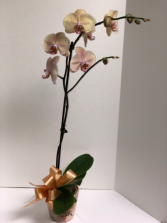 Peach Orchid Plant
