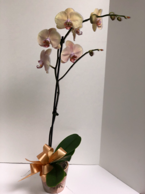 Peach Orchid Plant in Coral Springs, FL | DARBY'S FLORIST