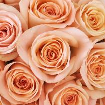 Peach Tiffany Rose Available in Half Dozen, Dozen & Two Dozen