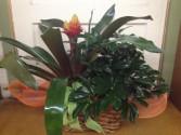 Peanut Basket Plants