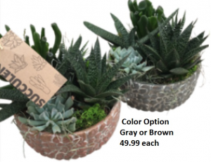 Pebble succulent succulent in Newmarket, ON | FLOWERS 'N THINGS FLOWER & GIFT SHOP