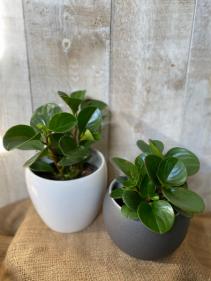 Peperomia Obtusifolia plant