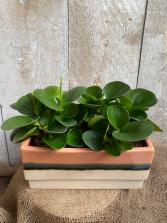 Peperomia Obtusifolia planter
